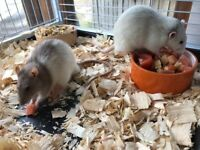Two male rats - free to good home.