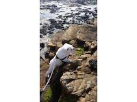 White british bulldog puppy