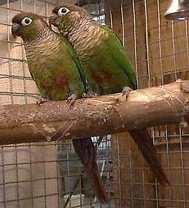 Pair of Green-cheeked Conures with Cage