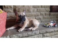 Fawn beautiful french bulldog
