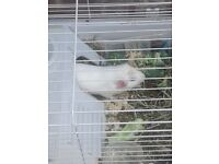 2x male guinea pigs need for ever home