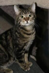 """Young Male Cat - Tabby (Brown): """"Bubbles"""""""