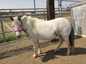 PINTO MINIATURE MARE FOR SALE