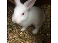 Rabbit white