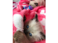 Fluffy and Cute Ragdoll Kittens with full Pedigree