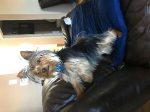 Teacup Yorkie  puppy for sale 1 years old