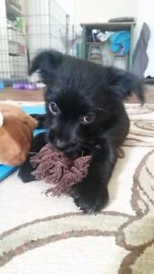 """Baby Male Dog - Chihuahua: """"Remy"""""""