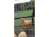 large fowl buff orpington cockerels