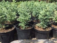 Small conifers for £2 each !!