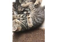 Bengal x kittens 🐱