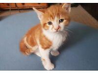 Beautiful Turkish Angora kitten