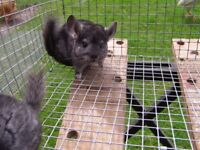 3 MONTHS OLD EBONY MALE CHINCHILLA FOR SALE £65