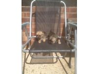 Jack russel cross chihuahua puppy's for sale