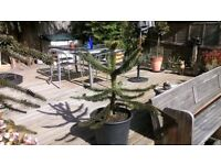 monkey puzzle tree very healthy 8 years old