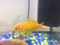 Stunning Gold Fish 🐟