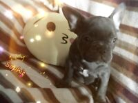 Kc reg French bulldog puppies blues and blacks