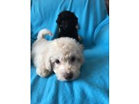 Miniature labradoodle puppies (Low shedding)