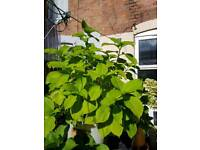 LARGE HYDRANGEAS PLANT FOR SALE