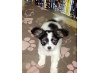 Pure Chihuahua male pup, black & white, no papers hence price but can register with KC