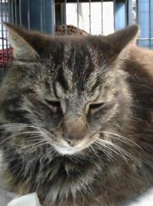 "Adult Male Cat - Domestic Medium Hair: ""Gino"""