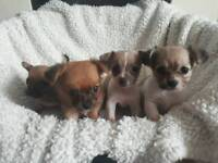 Chihuahua x jackuawa