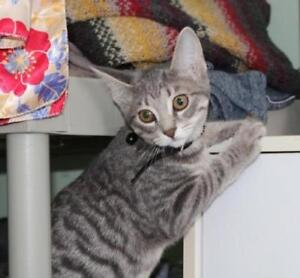 """Baby Male Cat - Domestic Short Hair (Gray): """"Goggles"""""""