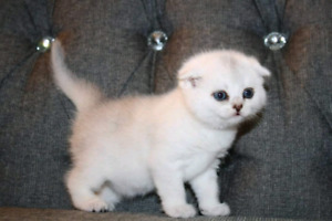 Pure Breed Scottish fold silver shaded!!! Amazing kittens!!!