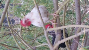 Serema Chickens for Sale