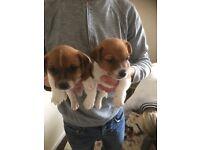 3 miniature boy jack Russel pups