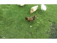 Chickens coop & run