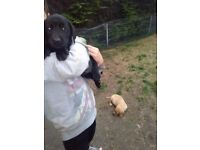 KC labradors puppies 1 golden female and 3 black female