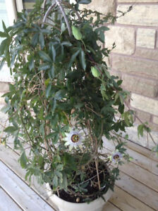 Potted Passion Flower