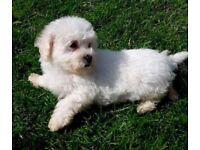 Gorgeous bichon puppy girl