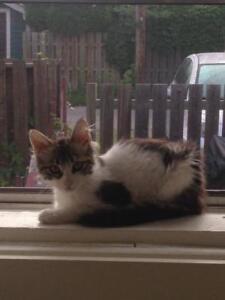 "Baby Female Cat - Domestic Medium Hair (Gray & White): ""Lucy"""
