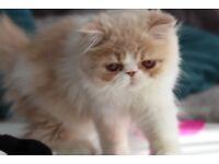Persian Cream & White Kitten for sale