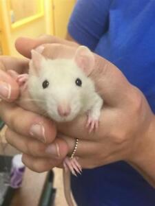 "Baby Female Small & Furry - Rat: ""Blossom"""