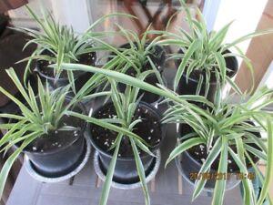 Plante araignée / Spider Plant Chlorophytum 2 / 10 $