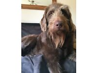Female labradoodle 4 years old spayed
