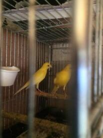 Raza Spanish Canary for sale