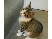 Tabby/White Kittens