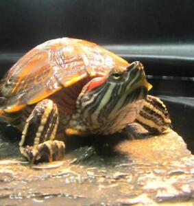"Young Female Scales, Fins & Other - Red-Eared Slider: ""April"""