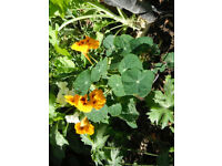Plant for sale-A nasturtium Ladybird (yellow flowers)