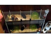 4 guinea pigs
