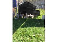 Isabella brahama chicken poultry birds