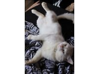 MISSING!!! BIG PURE WHITE MALE CAT
