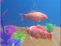 2 beautiful Goldfish