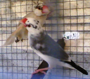 Java Finches for sale or trade