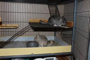 2 chinchillas, cage & accessories