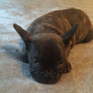 French Bulldog puppy 1 chocolate brindle available  ❤️❤️