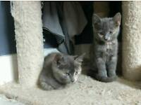 2 grey/blue russian blue mix kittens shepherds Bush